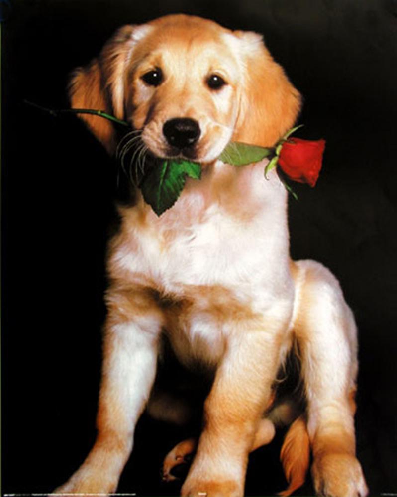 hunde golden retriever puppy mini poster 40x50. Black Bedroom Furniture Sets. Home Design Ideas