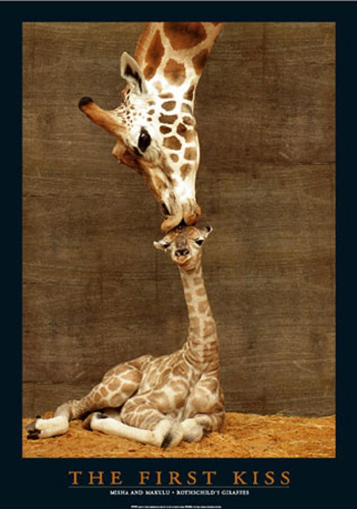 Giraffes First Kiss Mini Poster 40x50
