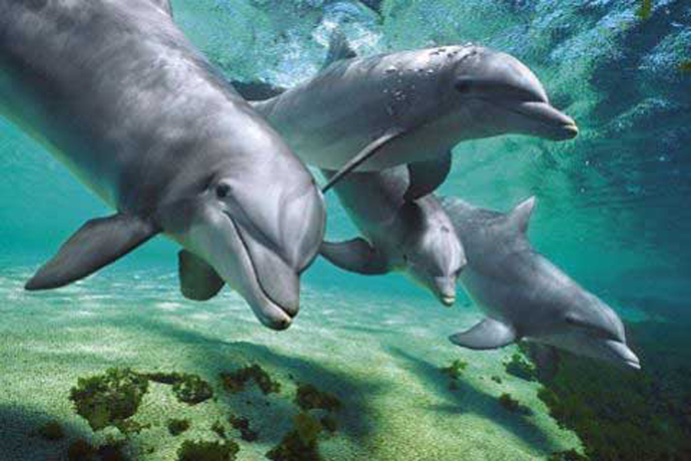 Dolphins - Poster - Underwater