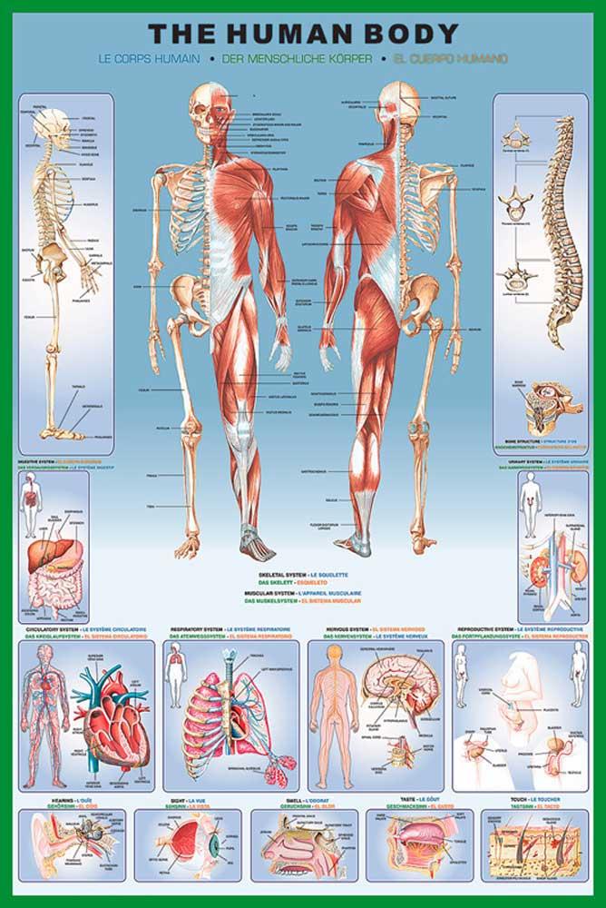 Educational - Bildung - Human Body Menschlicher Körper - Poster ...