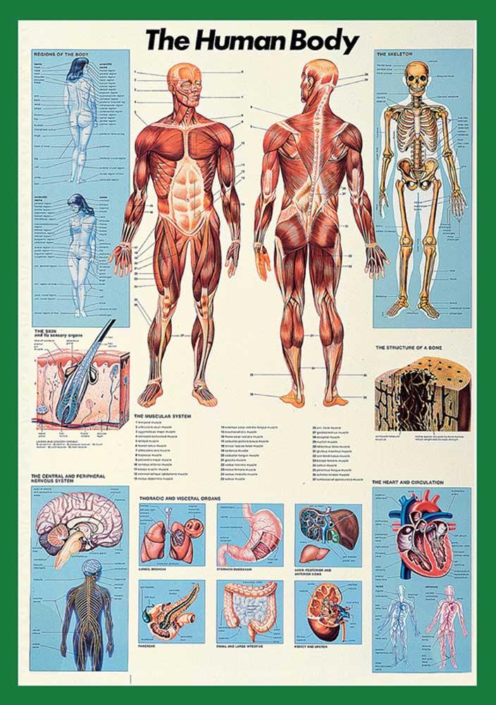 Educational - Bildung - Human Body Körper des Menschen - Poster - 68x98
