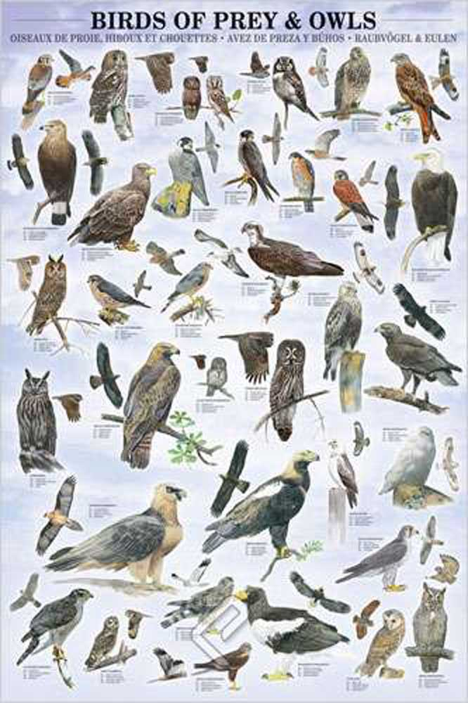 Educational - Poster - Birds Of Pray & Owls