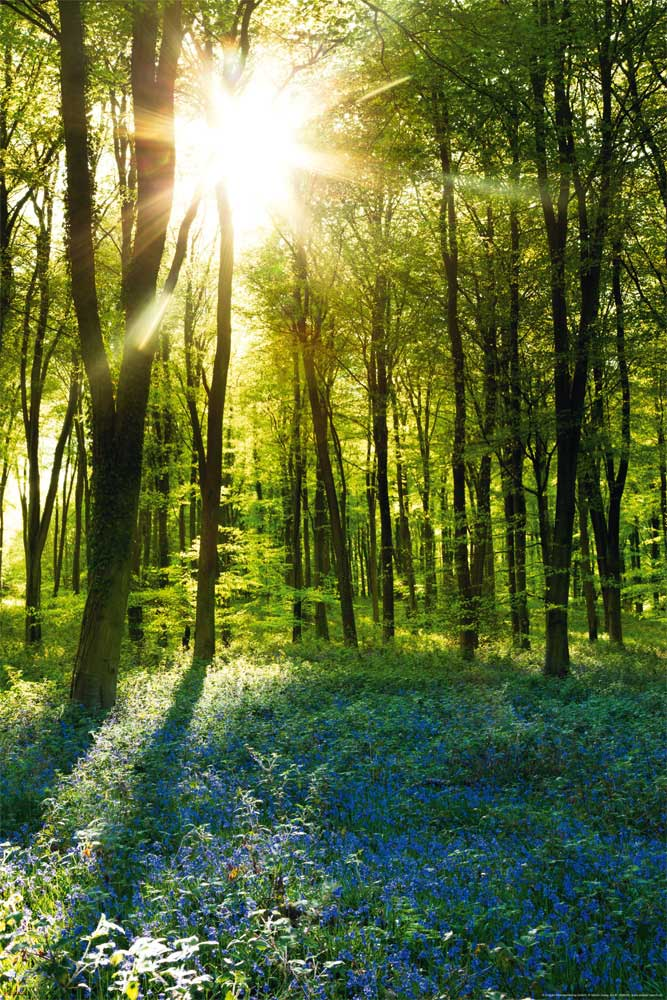 Forests - Poster - Sunrise Bluebell Wood