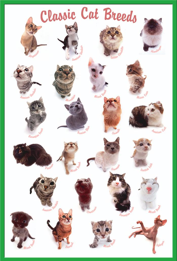 Classic Cat Breeds Katzen Poster Druck Größe 61x91,5 cm Tier