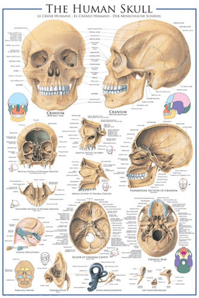 Educational - Bildung - Der menschliche Schädel - Poster - 61x91,5
