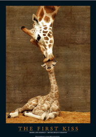 Giraffes First Kiss