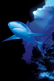 Sharks Deep Blue