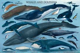 Poster - Educational - Bildung Whales and Dolphins Waale und Delfine