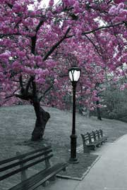 Poster - New York Central Park - Blossom