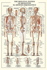 Poster - Educational - Bildung The Skeletal System