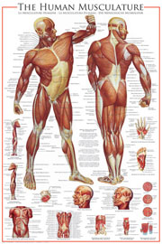 Poster - Educational - Bildung The Muscular System