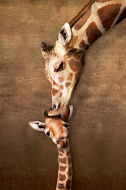 Giraffes Mother's Kiss Baby