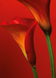 Poster - Red Calla Lilies