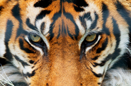 Tiger Giant Art® XXL-Poster