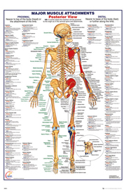 Poster - Educational - Bildung The Human Body - Posterior Muscle