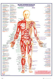 Poster - Educational - Bildung Human Body - Anterior Muscle