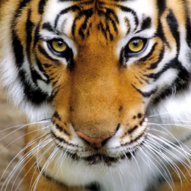 Tiger Natures Beauty