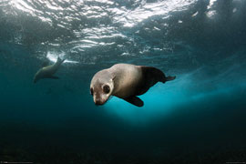 Poster - Sea Life Australian Fur Seal