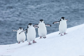 Poster - Sea Life Chinstrap Penguins
