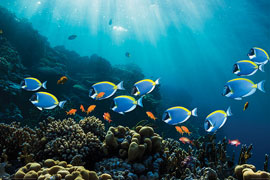 Poster - Sea Life Surgeonfish & Goldies