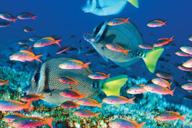 Poster - Sea Life Yellow-Tailed Surgeonfish