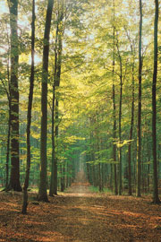 Poster - Forests Waldweg