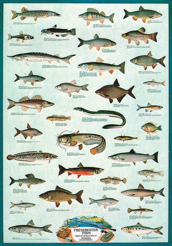 educational bildung freshwater fish s sswasser fische. Black Bedroom Furniture Sets. Home Design Ideas
