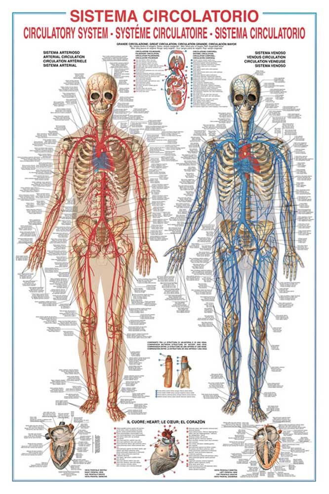 Beste Venenbild Des Menschlichen Körpers Bilder - Anatomie Von ...