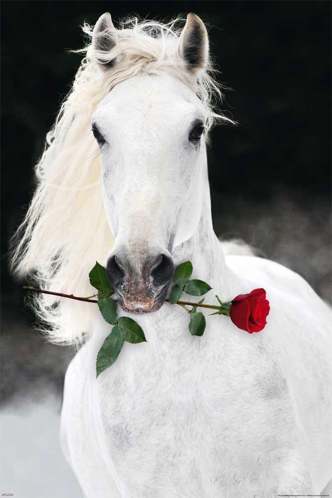 Pferde - Lipizzaner mit Rose - Poster - 61x91,5