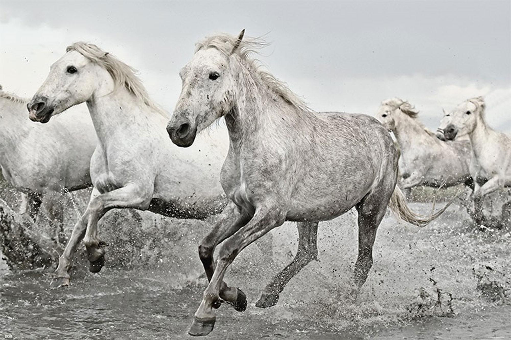 Pferde - White Horse - Tier Poster Plakat Druck - Größe 91,5x61 cm ...