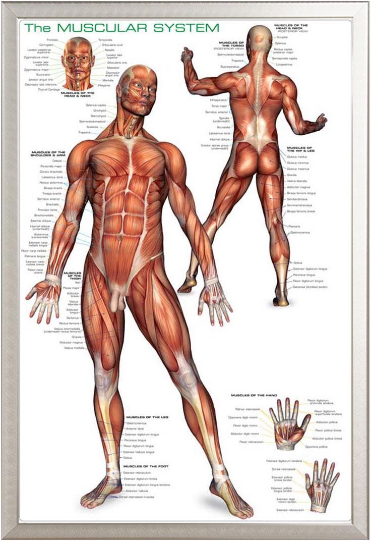 Educational Muscular System Muskelsystem des Menschen - Poster Druck ...