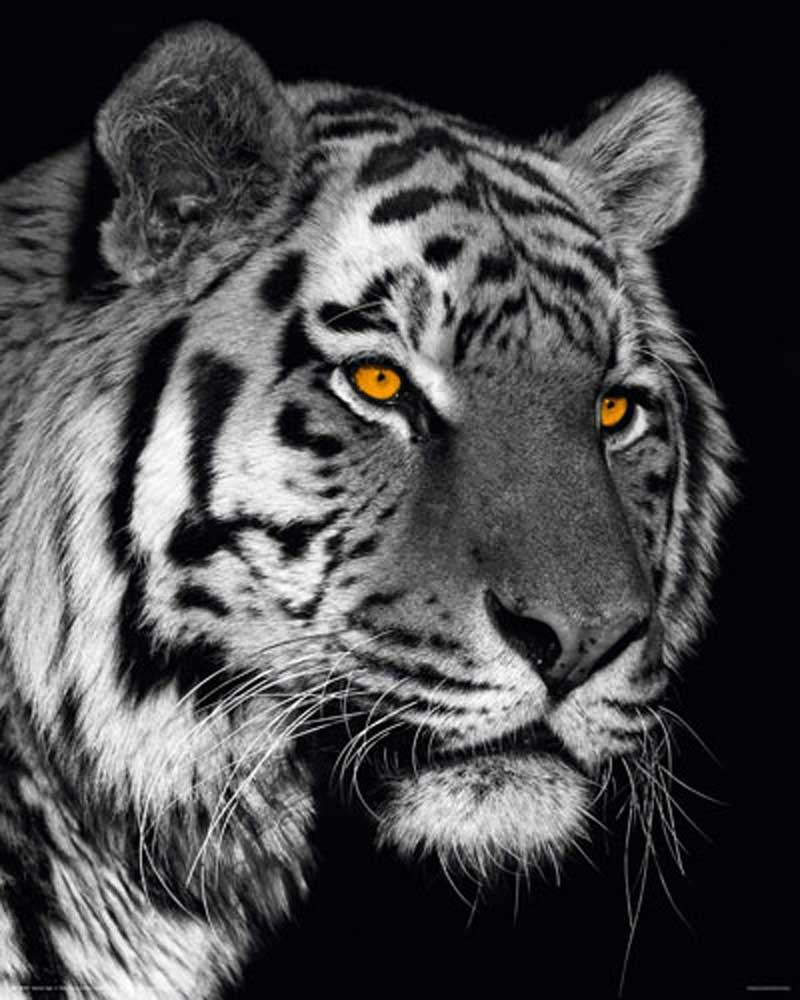 raubkatzen siberian tiger mini poster 40x50. Black Bedroom Furniture Sets. Home Design Ideas
