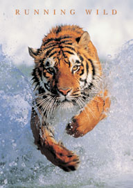 Poster - Raubkatzen Tiger, Running Wild Version 2