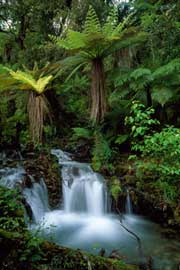 Poster - Marent, Thomas Creek with tree ferns