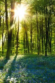 Poster - Forests Sunrise Bluebell Wood