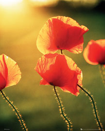 Blumen Poppies Glow