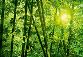 Poster - Bamboo Forest