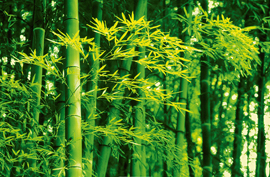 Poster - Bamboo in Spring