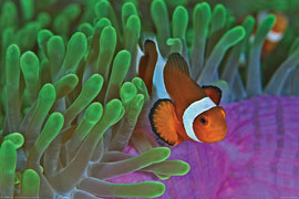 Poster - Sea Life Clownfish & Anemones