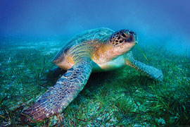 Poster - Sea Life Loggerhead Sea Turtle
